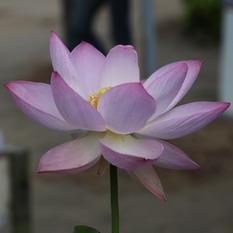巨椋の桃花